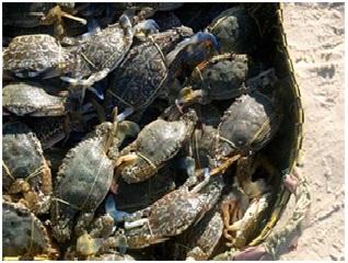 Việt Nam dẫn đầu về xuất khẩu ghẹ xanh tươi vào Nhật Bản
